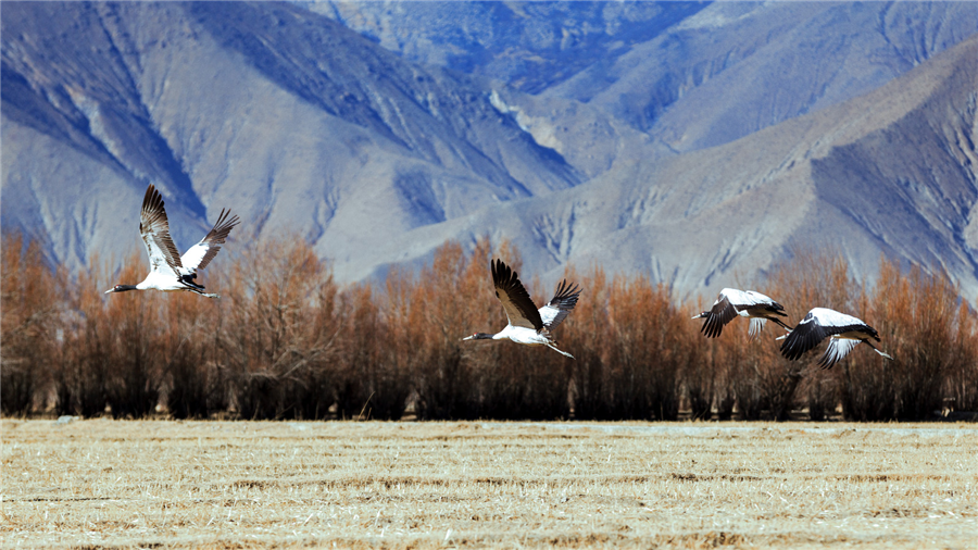 Black-necked Crane Nature Reserve of Yajiang River in Shigatse