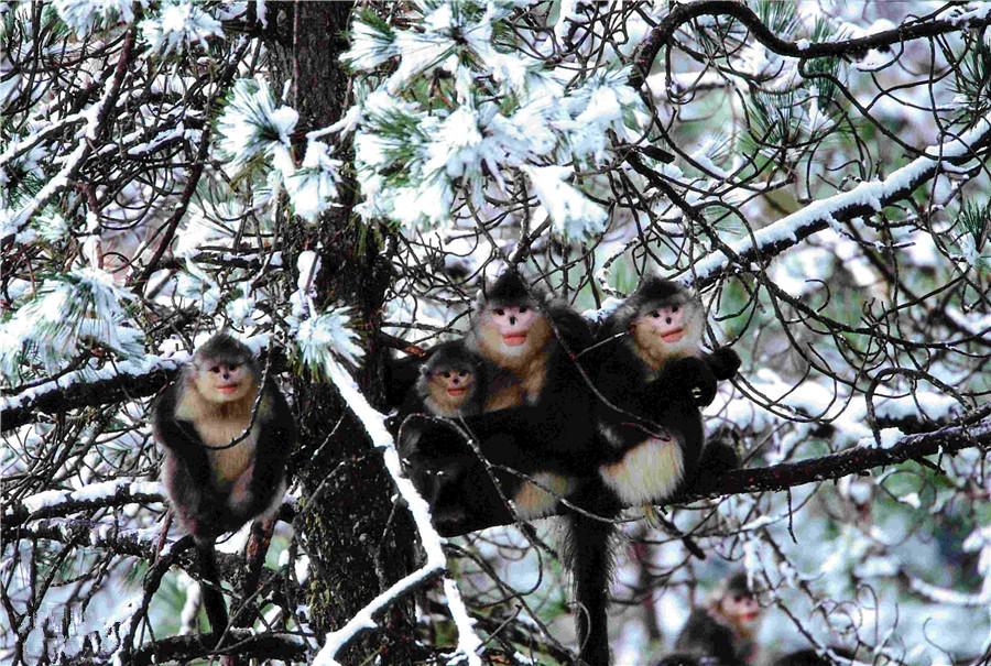 Markham Nature Reserve for Yunnan Golden Monkey
