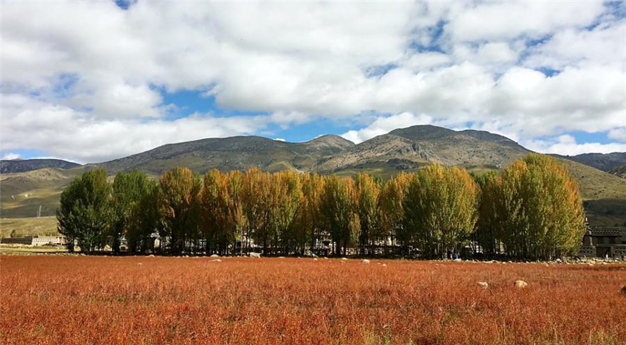 Populus Euphratica Forest in Daocheng County, Garze